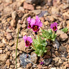 Mimulus douglasii (brownies,  purple mouse ears).  For the most part, this was not a flowerful trail, but I hit these on one hillside.