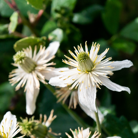Clematis lasiantha (chaparral clematis).