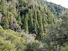 Abies bracteata (Santa Lucia Fir).   There's a little stand of them below me.