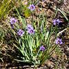Sisyrinchium bellum (blue eyed grass).