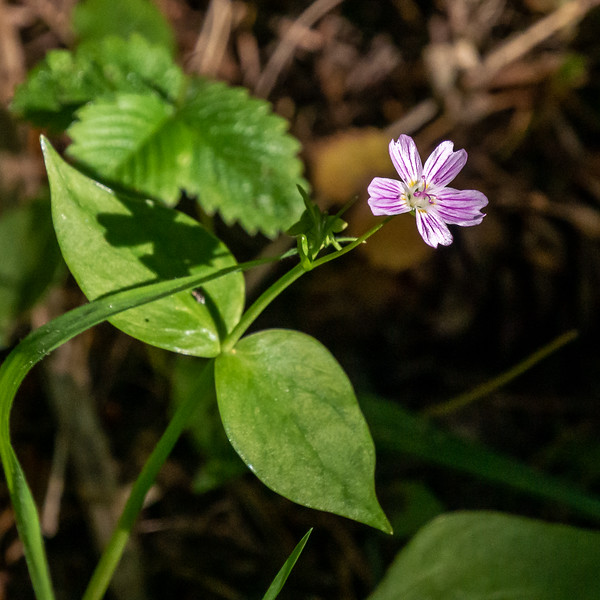 Claytonia sibirica (Siberian springbeauty or, more prosaically, candy flower).  These were all over in some lowland spots.