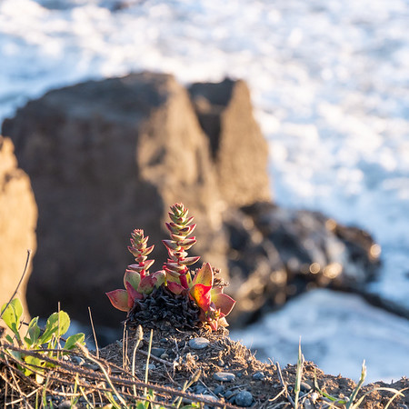 Dudleya farinosa (sea lettuce).   Lots of these on the bluffs around all the beaches.