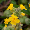 Mimulus guttatus (common yellow monkeyflower) was scattered about the beach margins.