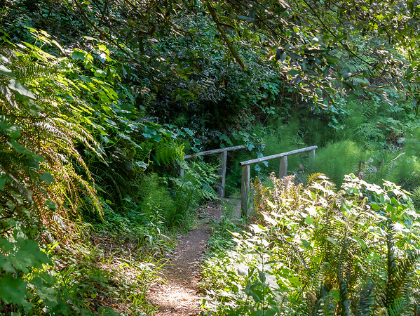 The Lost Coast Trail south out of Bear Harbor follows a small stream.   The lush understory here included sword ferns, horsetails, coast man-root (wild cucumber), and blackberries.