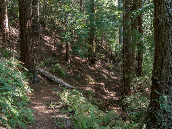 As the trail goes farther back, it enters redwoods.  Sword ferns (Polystichum sp.) were a common understory today too.