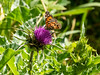 Silybum marianum (milk thistle) with a visitor, probably the West Coast Lady (Vanessa annabella).   This invasive, non-native thistle was a prickly pest at the margins of the trail several times on this hike.