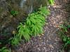 Adiantum aleuticum (five finger fern).