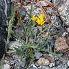 Crepis sp.  (hawksbeard) in a dry rocky corner.