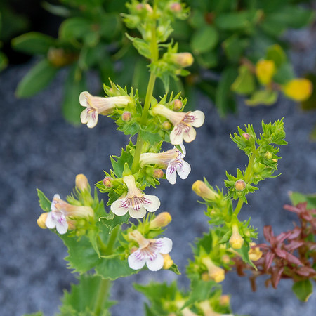 Penstemon deustus var. suffrutescens (hot rock beardtounge), which I saw for the first time last year in the Trinities.