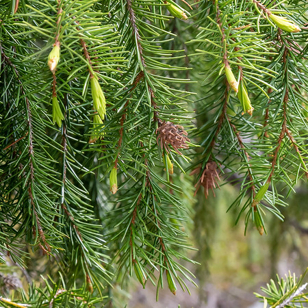 Picea breweriana (Brewer's weeping spruce).  Pollen cone.  The seed cones are more of what one associates with a conifer cone: larger with the usual overlapping woody scales.