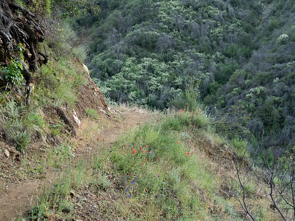 A sample of the the trail: good tread with a few flowers on the side, here paintbrush and larkspurs.