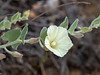 Calystegia malacophylla (Woolly morning glory).  A familiar plant, but not one I've seen in Big Sur before.