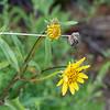 Helianthus gracilentus (slender sunflower).   Interesting disk flowers.