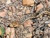 Gartersnake, probably  the wandering gartersnake (Thamnophis elegans vagrans).