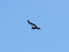California condor  (Gymnogyps californianus). They were already well passed me by the time I was ready with the camera.