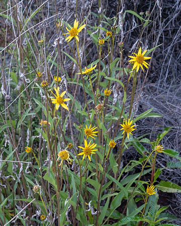 Helianthus gracilentus (slender sunflower).  Another interesting thing on trail between Escondido and Arroyo Seco.