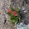 Dudleya lanceolata (lance-leaved dudleya) is possible.  Maybe this is the familiar D. cymosa, but those long leaves also suggest the former.  D. cymosa doesn't grow on granite and I think that white rock is quartz.