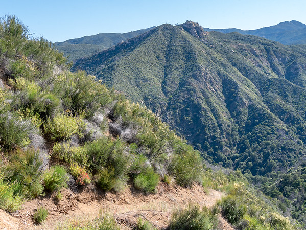 The the trail pops into the chaparral on the cut that was visible from near Escondido.  A little paintbrush livens the scene.