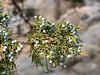 Juniperus grande (Sierra juniper).  The juniper was covered in berries, hence the blue tinge.