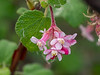 Ribes malvaceum (chaparral currant).  These, on the other had, are in full bloom.  There are just a few of these up here.