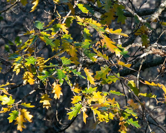 There are a few California black oaks (Quercus kelloggii) still in leaf.