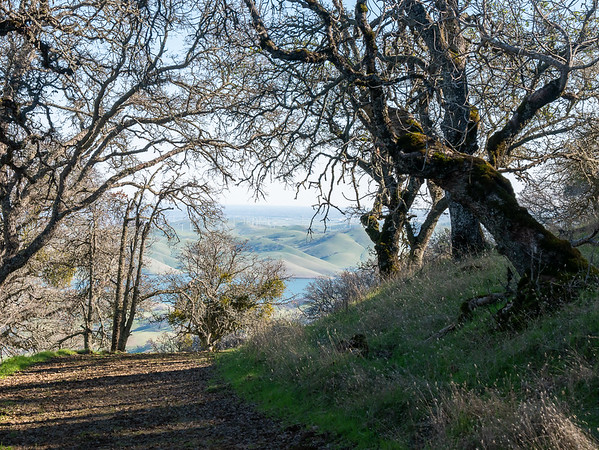 Los Vaqueros Reservoir came into view as I got farther north on Bob Walker Ridge.  This gives a sense of the inside of the blue oak forest with the leaves down: fairly open with filtered views out.  Observe the mistletoe (Phoradendron leucarpum) on those oaks too ... as befitting the season.