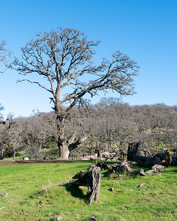 Those bare blue oaks (Quercus douglasii)  can be quite statuesque.