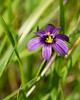 Sisyrinchium bellum (blue-eyed grass).  Not too many of these today.  This one was just a bit above Mitchell Rock.