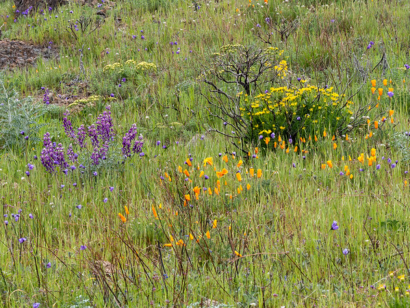Lupine, poppies, goldenbush, blue dicks, and lomatium.