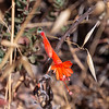 Epilobium canum (California fuchsia).  A reliable fall bloomer.  Wirelettuce was out too, but I didn't get  anywhere near as good a shot as I did last year.
