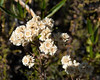 Anaphalis margaritacea (pearly everlasting).  Lots and lots of these, now dried, in the burn area.