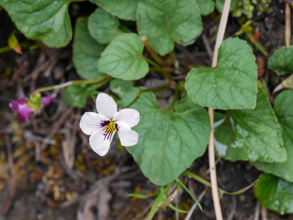 Viola ocellata (western heart's ease).  I've not seen many violets this year, so it was nice to see this.