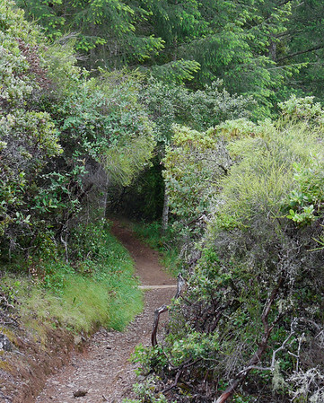Down the Kent Trail and into the moister forest.  Douglas firs here, but redwoods and tan oaks ahead.