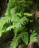 Poypodium californica (california polypody).  This harbinger of the rainy season was well out.