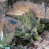 Pellaea mucronata (bird's foot fern).