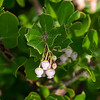 Arctostaphylos glandulosa ssp. glandulosa (Eastwood's manzanita).  Maybe.  The pictures and description fits (so do others) and Eastwood's is common on Mt. Tam.  Hairy stems, more-or-less glabrous leaves.