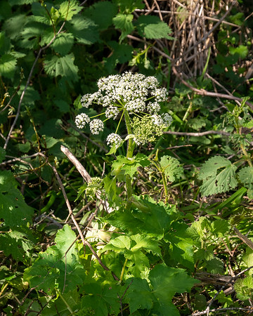 Heracleum maximum (cow parsnip).  One more along that creek, right next to the Maianthemum.