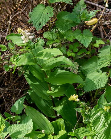Maianthemum racemosum (feathery false lily of the valley).  Along that creek near Coast Camp.
