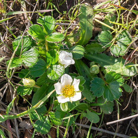 Fragaria chiloensis (beach strawberry).  Not on the beach.  More like 1/2 mile back in the margins of the scrub.