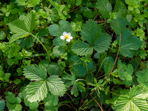 Fragaria vesca (California strawberry) for comparison, taken later in the hike by the Environmental Center.  The little white things are Stellaria sp. (chickweed).  European.