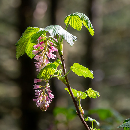 Ribes sanguineum (red flowered currant) was in bloom under the trees.