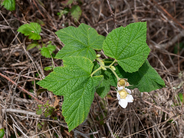 Rubus parviflorus (western thimbleberry).  One more berry, this one from a bit higher up than the beach strawberry, but still in the coastal scrub.