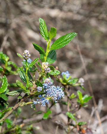 Ceanothus thyrsifolius (blue blossom).  Many just coming into bloom in the coastal scrub.