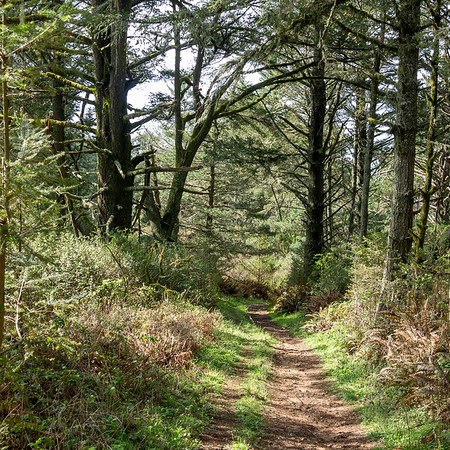 """The top part of this trail was under old Douglas Firs. On the Fire Lane Trail now.  All smelled moist, growing, and """"piney"""" (well, """"fir-y"""") up here today."""