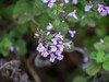 Calamintha sylvatica ssp. ascendens (woodland catmint).   One of a focus bracket set.  Focus bracketing was a bit of a disappointment on some of today's trials, but this on did a nice job of capturing a few blooms side-on.