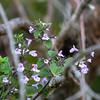 Calamintha sylvatica ssp. ascendens (woodland catmint) leaves.