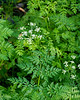 Conium maculatum (poison hemlock).  Pretty, but an invasive invader from Europe.