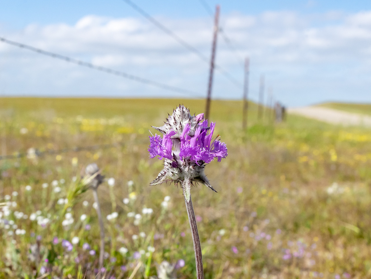 Salvia carduacea (thistle sage) in context.  They were just there by the roadside!