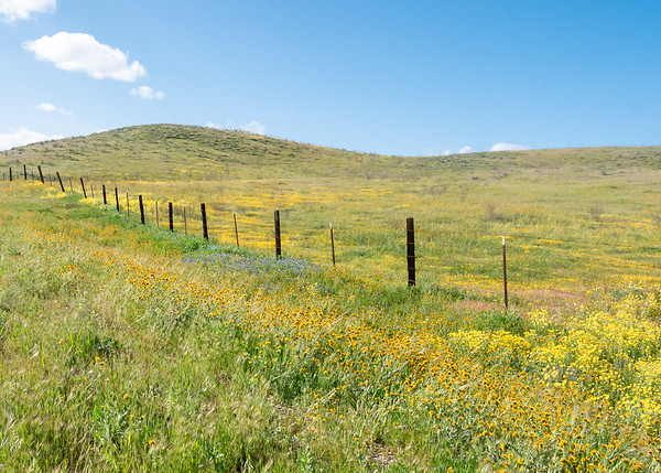 Farther along SR 53, I hit this pleasant field: yellow daisies, phacelia ( P. tanacetifolia), fiddlenecks, and baby blue eyes.