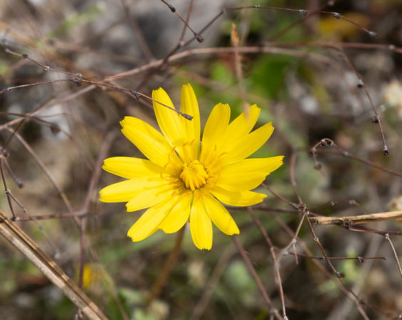 Agoseris heterophylla (annual false dandelion).  There were some of these down in the valley along with the goldfields.